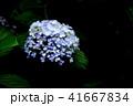 紫陽花 41667834