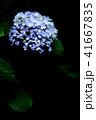 紫陽花 41667835