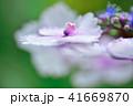 ガクアジサイ アジサイ 花の写真 41669870