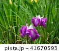 花 花しょうぶ 紫色の写真 41670593