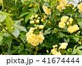 三鷹中原に咲く黄色いモッコウバラ 41674444