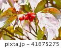 ハナミズキ アメリカヤマボウシ 実の写真 41675275