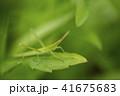 バッタと新緑 41675683
