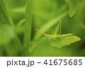 バッタと新緑 41675685