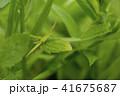 バッタと新緑 41675687
