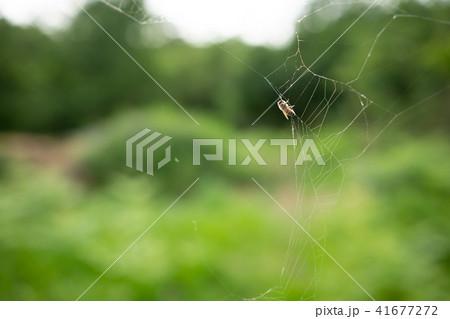 蜘蛛の巣 ミツバチ ハチ ハニートラップ 41677272