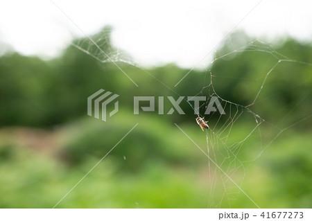 蜘蛛の巣 ミツバチ ハチ ハニートラップ 41677273