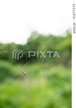 蜘蛛の巣 ミツバチ ハチ ハニートラップ 41677275