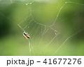 蜘蛛の巣 ミツバチ 蜂の写真 41677276