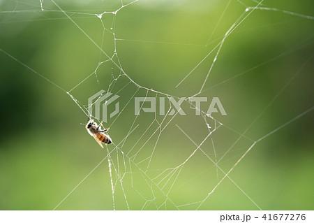 蜘蛛の巣 ミツバチ ハチ ハニートラップ 41677276