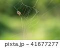 蜘蛛の巣 ミツバチ 蜂の写真 41677277