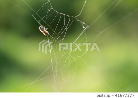 蜘蛛の巣 ミツバチ ハチ ハニートラップ 41677277