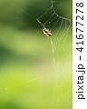 蜘蛛の巣 ミツバチ 蜂の写真 41677278