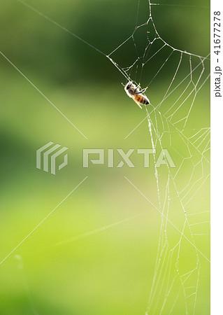 蜘蛛の巣 ミツバチ ハチ ハニートラップ 41677278