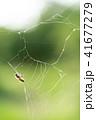 蜘蛛の巣 ミツバチ 蜂の写真 41677279