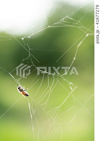 蜘蛛の巣 ミツバチ ハチ ハニートラップ 41677279