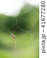 蜘蛛の巣 ミツバチ 蜂の写真 41677280