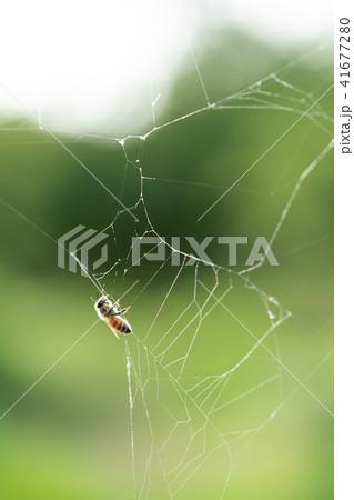 蜘蛛の巣 ミツバチ ハチ ハニートラップ 41677280