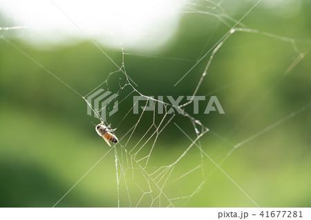 蜘蛛の巣 ミツバチ ハチ ハニートラップ 41677281