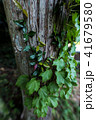 樹木とツタ 41679580
