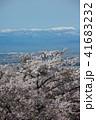 ソメイヨシノ 桜 春の写真 41683232
