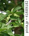 コブシ 辛夷 田打ち桜の写真 41689182