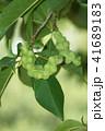 コブシ 辛夷 田打ち桜の写真 41689183