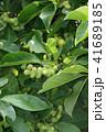 コブシ 辛夷 田打ち桜の写真 41689185