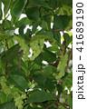 コブシ 辛夷 田打ち桜の写真 41689190