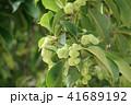 コブシ 辛夷 田打ち桜の写真 41689192