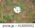 植物 花 コスモスの写真 41690002