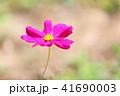植物 花 コスモスの写真 41690003