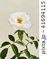 バラ 花 薔薇の写真 41694115