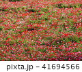 ポピー ケシ科 花の写真 41694566