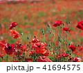 ポピー ケシ科 花の写真 41694575