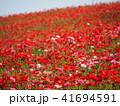 ポピー ケシ科 花の写真 41694591