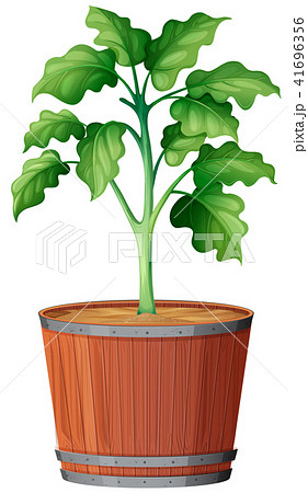 Plant Growing the Pot 41696356