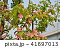 カリン 花 満開の写真 41697013