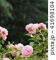 ピンクのバラ 41698104