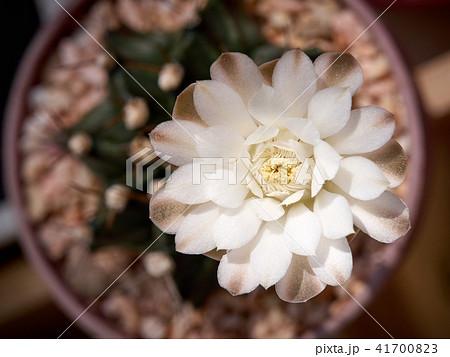 Cactus. echinopsis subdenudata 41700823