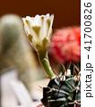 さぼてん サボテン 仙人掌の写真 41700826