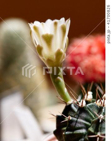 Cactus. echinopsis subdenudata 41700826