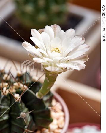 Cactus. echinopsis subdenudata 41700828