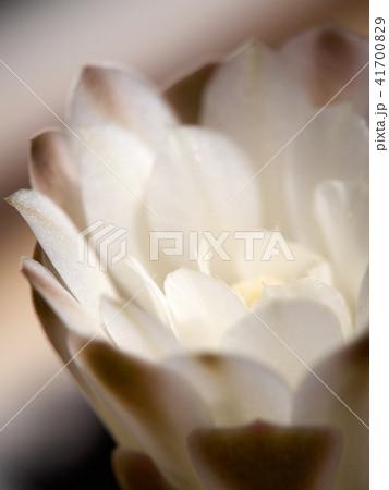 Cactus. echinopsis subdenudata 41700829