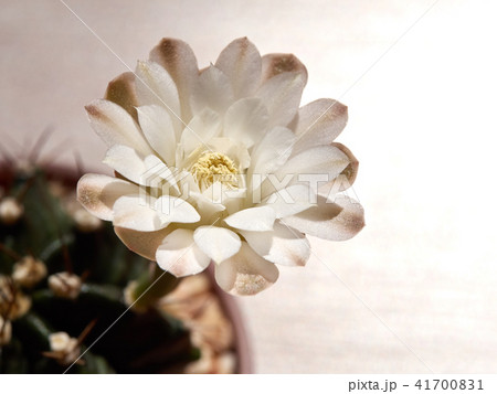 Cactus. echinopsis subdenudata 41700831