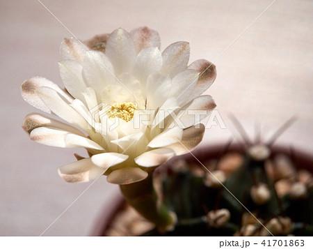 Cactus. echinopsis subdenudata 41701863