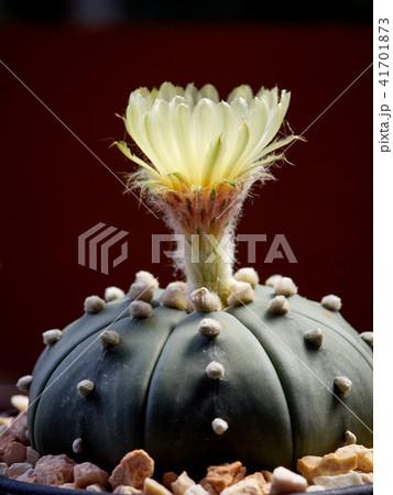 Cactus. Astrophytum 41701873