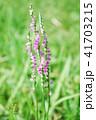 ネジバナ 花 モジズリの写真 41703215