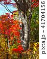 カエデ 紅葉 自然の写真 41704156