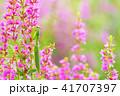 カマキリとミソハギの花 41707397